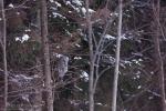 Great Grey Owl/Strix nebulosa, Photographer Борис Белчев