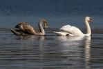 Mute Swan/Cygnus olor - Photographer: Борислав Борисов