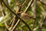 Thrush Nightingale/Luscinia luscinia, Family Thrushes