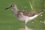 Wood Sandpiper/Tringa glareola - Photographer: Борислав Борисов