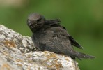 Common Swift/Apus apus, Family Swifts