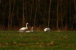 Family Waterfowl, Whooper Swan/Cygnus cygnus - Photographer: Младен Граматиков