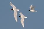 Family Gulls, Terns, Mediterranean Gull/Larus melanocephalus - Photographer: Борислав Борисов