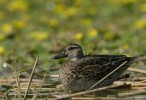 Garganey/Anas querquedula - Photographer: Илиян Вълчанов