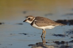 Semipalmated Plover/Charadrius semipalmatus, Family Plovers