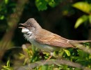 Common Whitethroat/Sylvia communis - Photographer: Иван Иванов