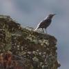Blue Rock-thrush/Monticola solitarius, Family Thrushes