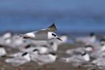 Forster's Tern/Sterna forsteri, Family Gulls, Terns