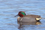 Family Waterfowl, Green-winged Teal/Anas carolinensis