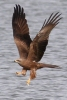 Black Kite/Milvus migrans - Photographer: Борислав Борисов