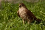 Eurasian Sparrowhawk/Accipiter nisus - Photographer: Борис Белчев
