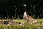 Канадска гъска/Branta canadensis - Фотограф: Борис Белчев