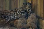 Eurasian Eagle-owl/Bubo bubo, Family Owls