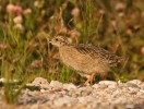 Grey Partridge/Perdix perdix - Photographer: Борис Белчев