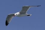 Audouin's Gull/Larus audouinii, Family Gulls, Terns