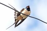 Barn Swallow/Hirundo rustica - Photographer: Plamen Dimitrov