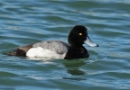 Lesser Scaup/Aythya affinis, Family Waterfowl