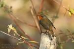 European Robin/Erithacus rubecula - Photographer: Светослав Спасов