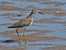 Stilt Sandpiper/Micropalama himantopus, Family Sandpipers