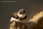 Sand Martin/Riparia riparia, Family Swallows, Martins