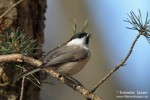 Family Tits, Marsh Tit/Poecile palustris - Photographer: Светослав Спасов