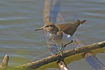 Common Sandpiper/Actitis hypoleucos - Photographer: Борис Белчев