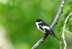Family Flycatchers, Semi-collared Flycatcher/Ficedula semitorquata - Photographer: Младен Василев