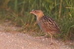 Family Rails, Corncrake/Crex crex - Photographer: Борис Белчев