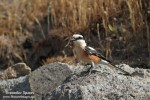 Masked Shrike/Lanius nubicus - Photographer: Светослав Спасов