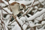 House Sparrow/Passer domesticus - Photographer: Николай Шопов