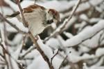 House Sparrow/Passer domesticus - Photographer: Николай Шопов