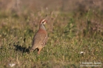 Red-legged Partridge/Alectoris rufa, Family Gamebirds
