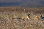 Family Bustards, Little Bustard/Tetrax tetrax - Photographer: Светослав Спасов