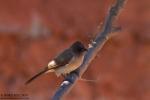 Брадат бюлбюл/Pycnonotus barbatus, Семейство Бюлбюли