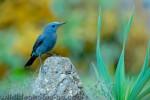 Blue Rock-thrush/Monticola solitarius - Photographer: Чавдар Гечев