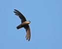 Chimney Swift/Chaetura pelagica, Family Swifts
