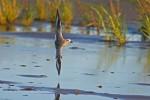 Grey Plover/Pluvialis squatarola - Photographer: Даниел Митев