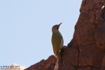 Levaillant's Green Woodpecker/Picus vaillantii, Family Woodpeckers