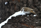 Eurasian Tree-creeper/Certhia familiaris, Family Wallcreepers