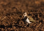 Northern Lapwing/Vanellus vanellus - Photographer: Борис Белчев