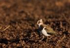 Northern Lapwing/Vanellus vanellus - Photographer: Борис Белчев