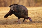 Wild Turkey/Meleagris gallopavo, Family Gamebirds