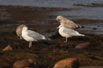 Iceland Gull/Larus glaucoides, Family Gulls, Terns