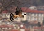 Northern Harrier/Circus cyaneus - Photographer: Младен Василев
