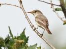 Olive-tree Warbler/Hippolais olivetorum - Photographer: Даниел Митев