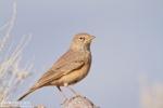 Family Larks, Desert Lark/Ammomanes deserti