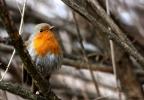 European Robin/Erithacus rubecula - Photographer: Dimitar Dimitrov