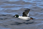 Common Goldeneye/Bucephala clangula - Photographer: Даниел Митев