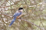 Family Crows, Azure-winged Magpie/Cyanopica cyanus