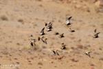 Black-bellied Sandgrouse/Pterocles orientalis - Photographer: Борис Белчев